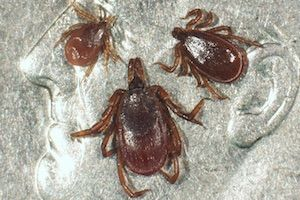 Tick-borne diseases of dogs and cats