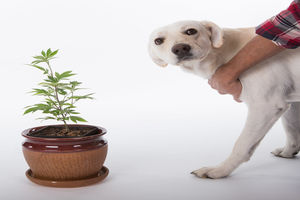 Veterinary Cannabis: From Plant to Medicine